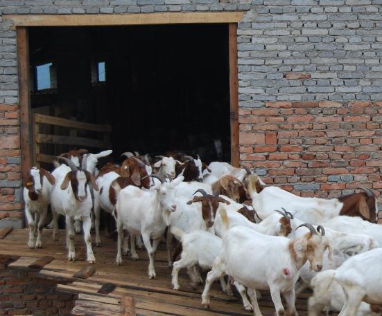 如何降低养羊成本?(经验分享)