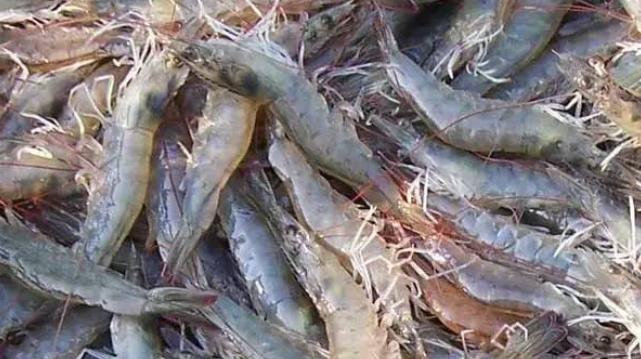 极富营养的淡水青虾养殖关键技术