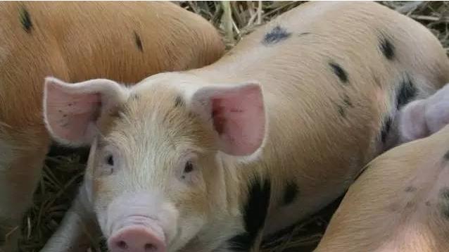 养猪太阳城娱乐之如何降低育肥猪饲养成本?