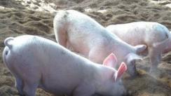养猪方法?具体的有哪些?