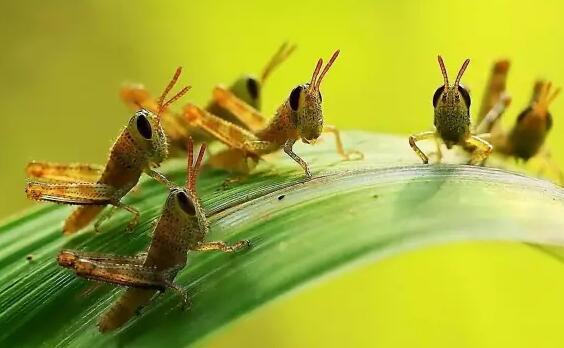 全国农技中心预测:今年秋季蝗虫发生面积近2500万亩