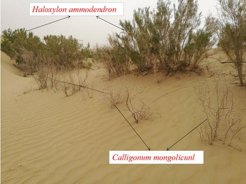 塔克拉玛干沙漠公路沿线梭梭和沙拐枣生长状况对比