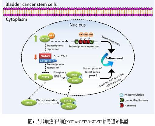 KMT1A-GATA3-STAT3信号通路促进膀胱癌干细胞自我更新的机制