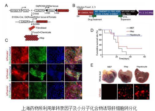 利用小分子化合物组合可诱导肝细胞转分化