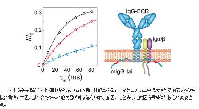 液体核磁共振技术揭示了记忆性B细胞产生基底水平信号的结构基础