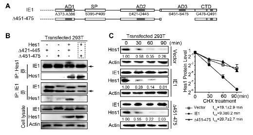 IE1是潜在E3泛素连接酶功能的HCMV病毒蛋白