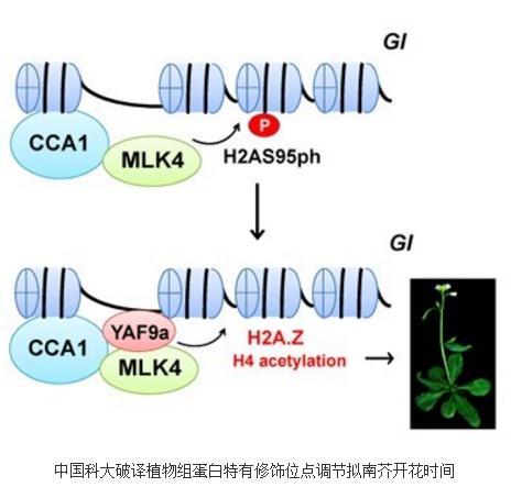 植物组蛋白H2A第95丝氨酸磷酸化修饰位点能够调节拟南芥的开花时间