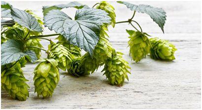 啤酒花的功能、作用研究进展