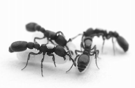 Orco气味受体基因对蚂蚁的社会行为影响分析