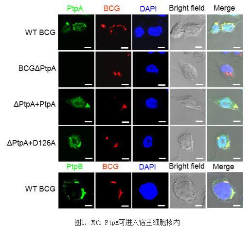 揭示Mtb促进肺癌发生发展的分子机制