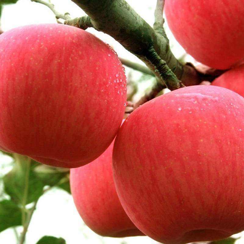专家团队通过基因测序证明栽培苹果起源于新疆