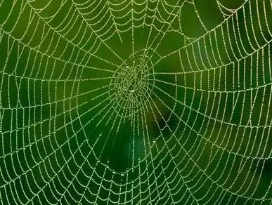 给蜘蛛喂食石墨烯收获复合石墨烯或碳纳米管的蜘蛛丝