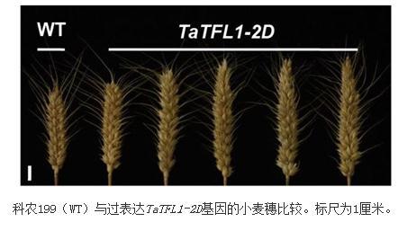小麦幼穗发育的基因表达调控网络机制