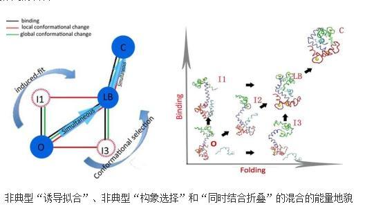 混合机制和钙调蛋白与多种靶标多特异性结合的重要联系