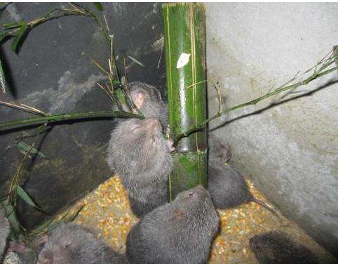 竹鼠养殖技术要点,竹鼠养殖产业现状分析