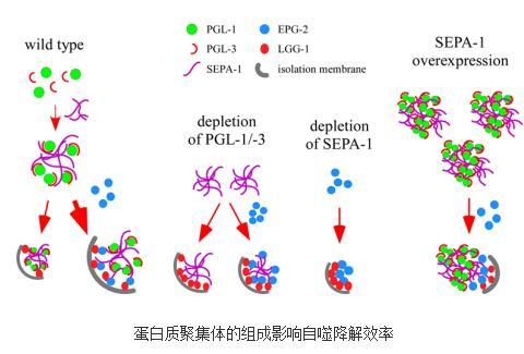 蛋白质聚集体的组成影响其自噬降解效率及特异性