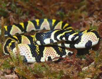 人工饲养并繁育出濒危物种横斑玉斑蛇后代