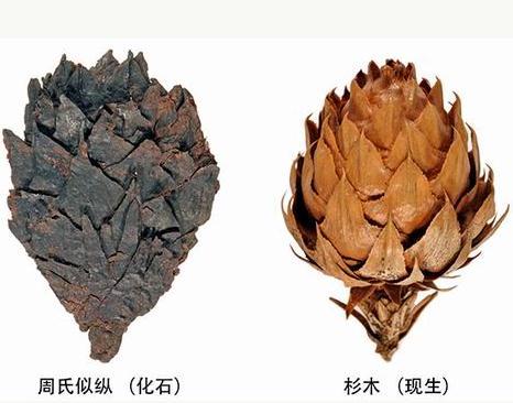 """史恭乐:从蒙古国采集的褐煤样品发现杉木祖先的化石""""干尸"""""""
