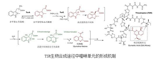 硫肽类抗生素:一种喹啉单元形成的酶学新机制