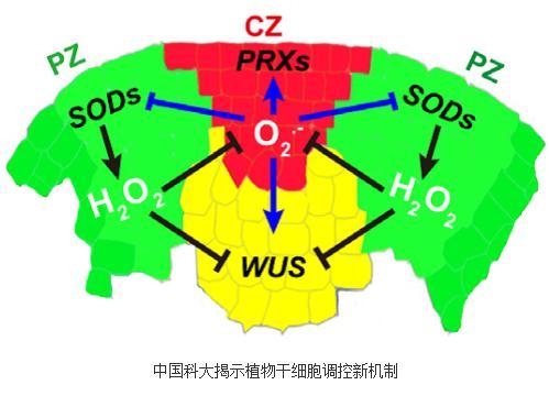超氧根和过氧化氢作为新的信号调控植物干细胞的维持与分化