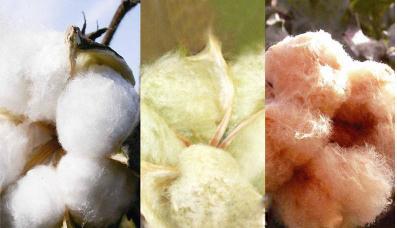 彩棉品种研究进展:成功育出甘棉、陇棉系列棉花新品种11个