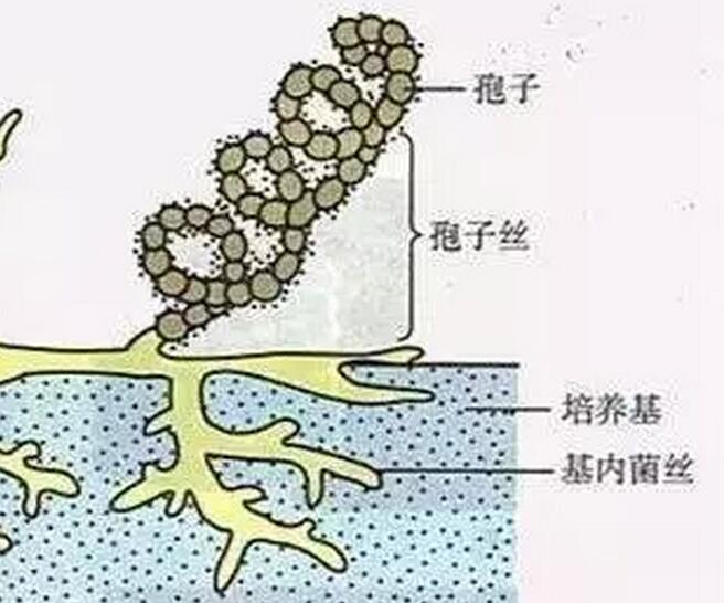 放线菌的形态特征及其在微生物学上的地位