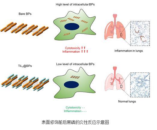 化学修饰的方法显著降低黑磷诱发的炎性反应