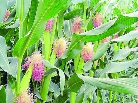 玉米早衰的原因及预防