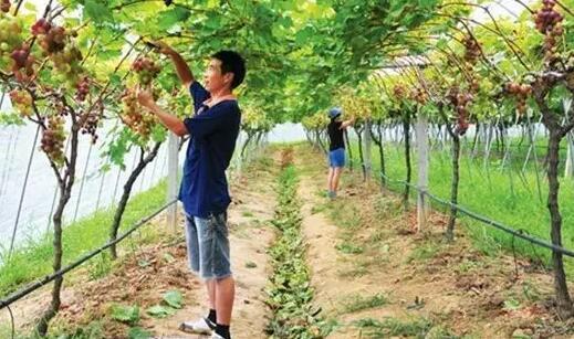 葡萄采收后病虫害防治