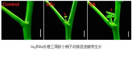 赤霉素可有效促进多种木本植物的分枝生长发育