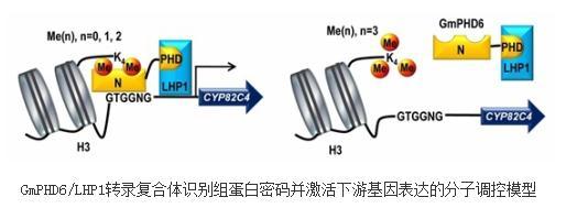 大豆中特殊的PHD锌指蛋白——GmPHD6