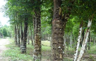 海南黎药沉香产业发展现状与升级:沉香整树结香法