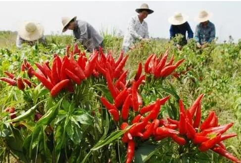 辣椒丰产栽培技术