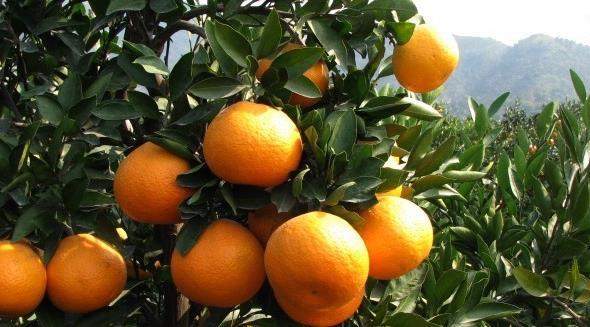 柑橘哪些品种易感溃疡病?