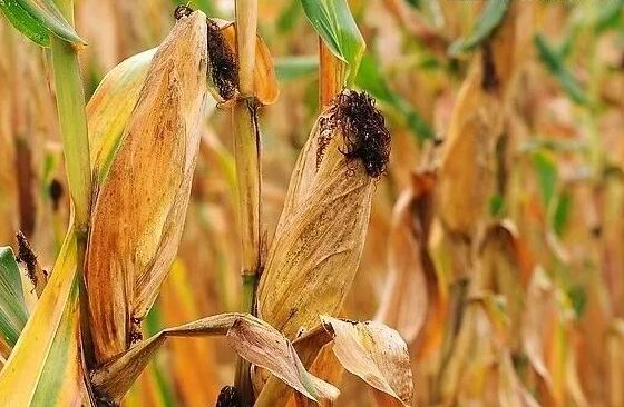 玉米最佳收获期是什么时候