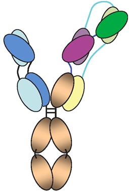 """""""三重特异性""""抗体可对抗99%的HIV变种"""
