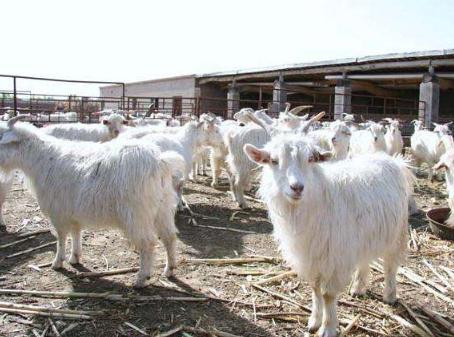 绒山羊常规免疫接种程序(经验分享)