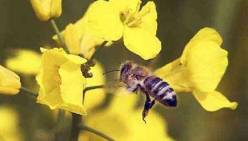 全球蜂蜜抽样检查发现75%受到新烟碱类杀虫剂污染