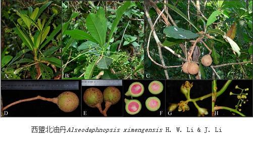樟科鳄梨属群新类群——北油丹属