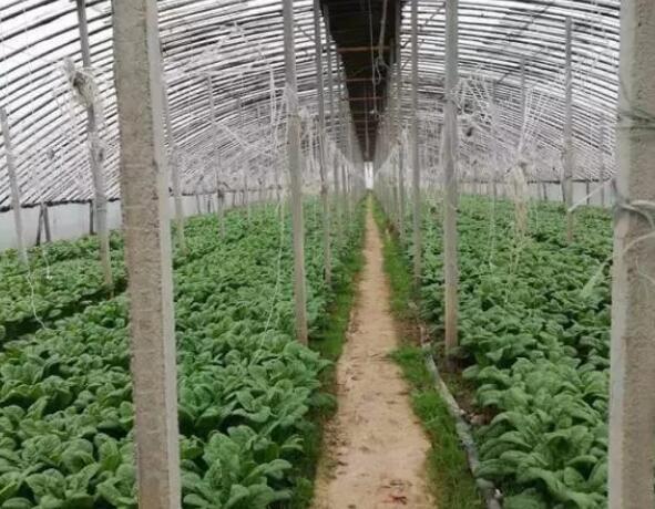 大棚蔬菜施肥禁用的10种方式