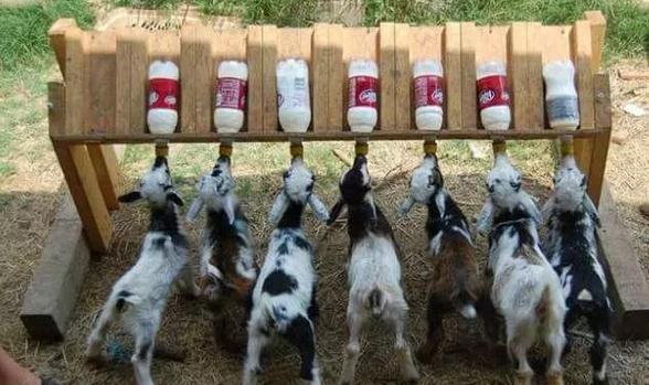缅甸境内饲养最多的羊品种,养羊业发展现状