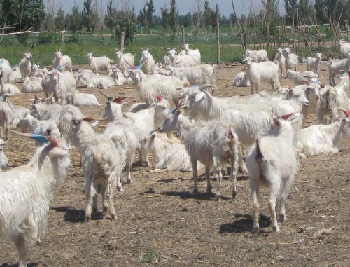 罕山白绒山羊的特点、饲养管理要点
