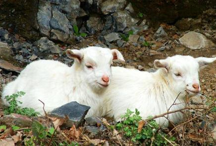 羊瘤胃酸中毒的症状与预防治疗方法