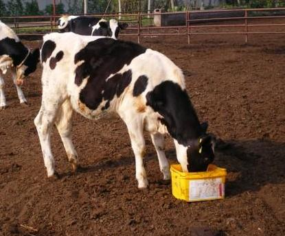 牛羊词喂尿素等安全有效的方法:糖蜜尿素舔砖配方制作、使用