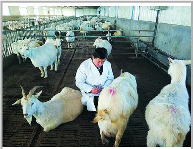 刘宗正博士将崂山奶山羊的繁育率提高三十个百分点
