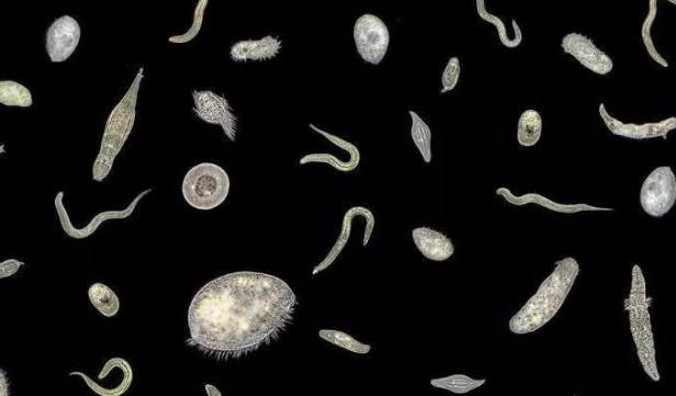 水中的浮游动物由轮虫类,枝角类,桡足类和原生动物组成.