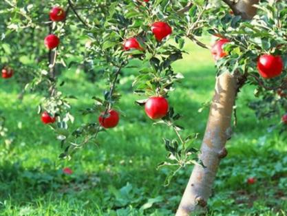 果树种植须知:补钙