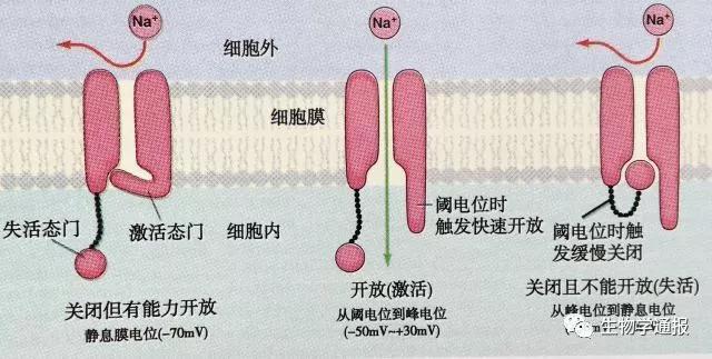 动作电位发生期间细胞膜电位和离子通透性变化机制研究