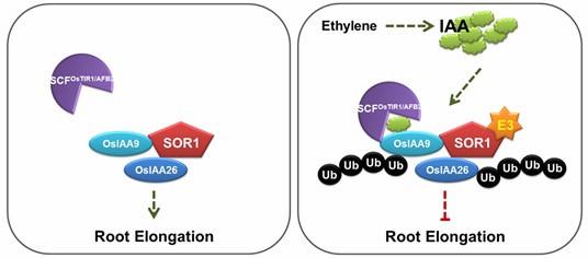 SOR1-OsIAA26信号模块特异地调控了水稻根部的乙烯反应