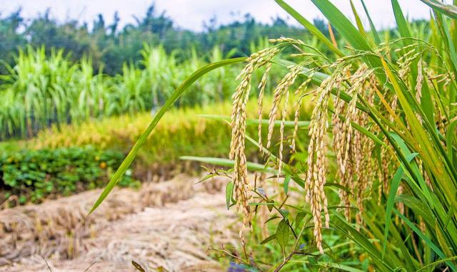 全国5.5亿亩主要农作物应用全程绿色防控技术模式